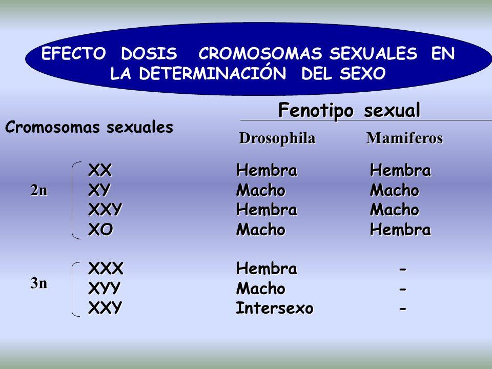 EFECTO DOSIS CROMOSOMAS SEXUALES EN LA DETERMINACIÓN DEL SEXO Cromosomas sexuales Fenotipo sexual Drosophila Mamiferos XXHembra Hembra XYMacho Macho XXYHembra Macho XOMacho Hembra XXXHembra - XYYMacho - XXYIntersexo - 2n 2n 3n 3n