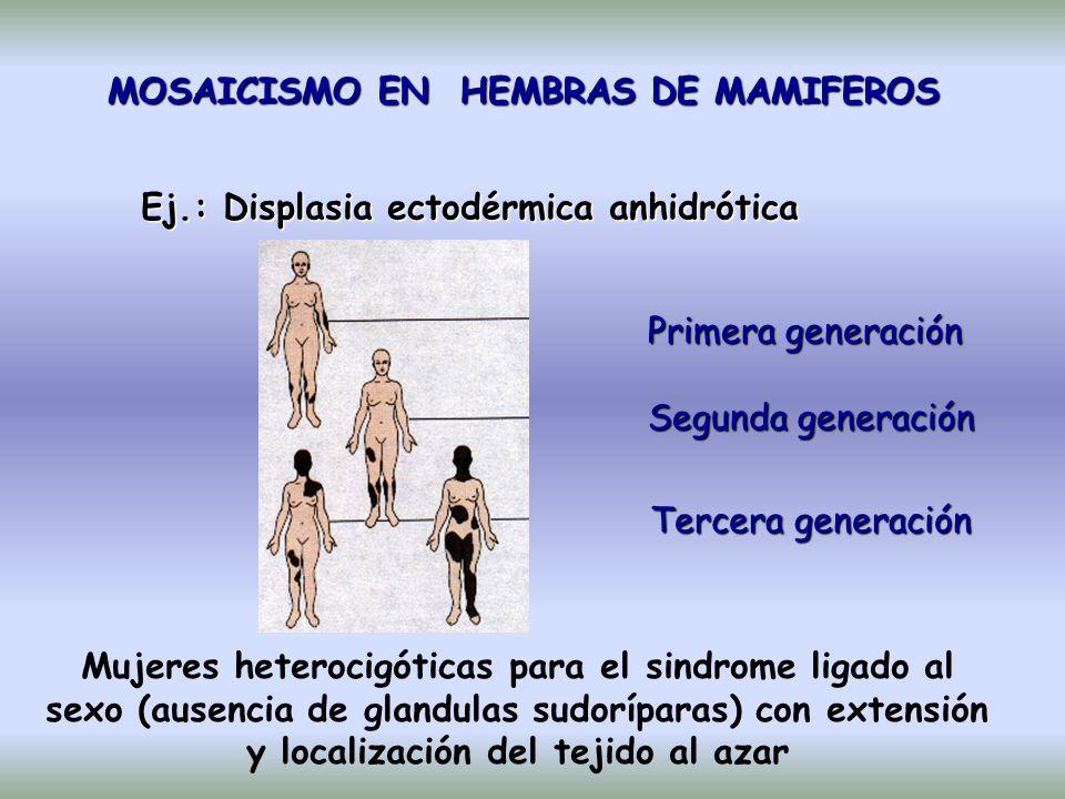 MOSAICISMO EN HEMBRAS DE MAMIFEROS Ej.: Displasia ectodérmica anhidrótica Primera generación Segunda generación Tercera generación Mujeres heterocigóticas para el sindrome ligado al sexo (ausencia de glandulas sudoríparas) con extensión y localización del tejido al azar