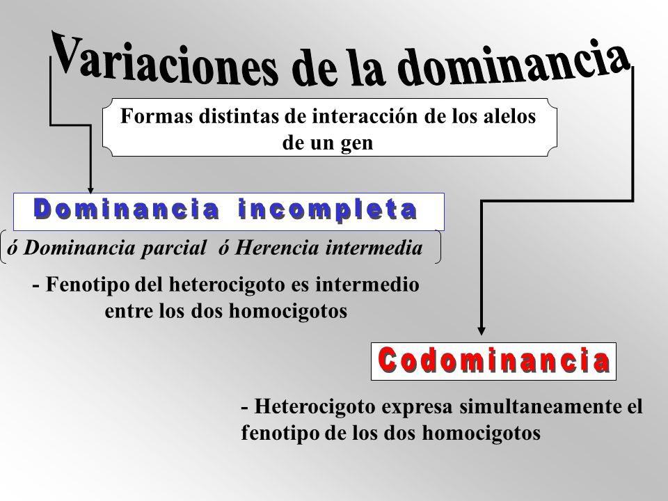Formas distintas de interacción de los alelos de un gen ó Dominancia parcial ó Herencia intermedia - Fenotipo del heterocigoto es intermedio entre los