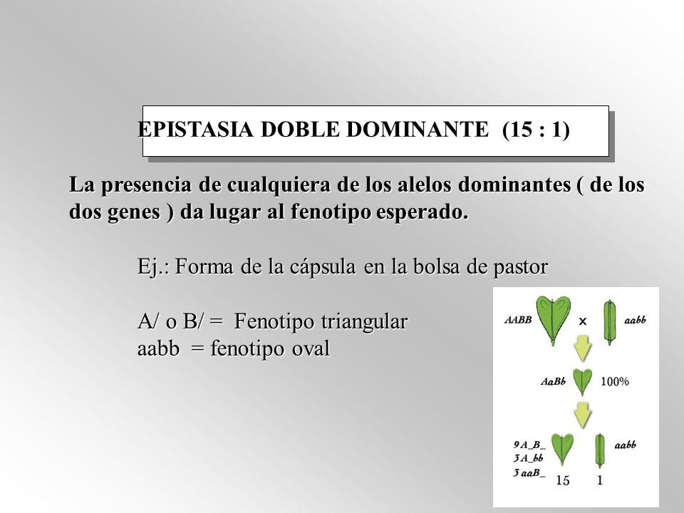 EPISTASIA DOBLE DOMINANTE (15 : 1) La presencia de cualquiera de los alelos dominantes ( de los dos genes ) da lugar al fenotipo esperado.