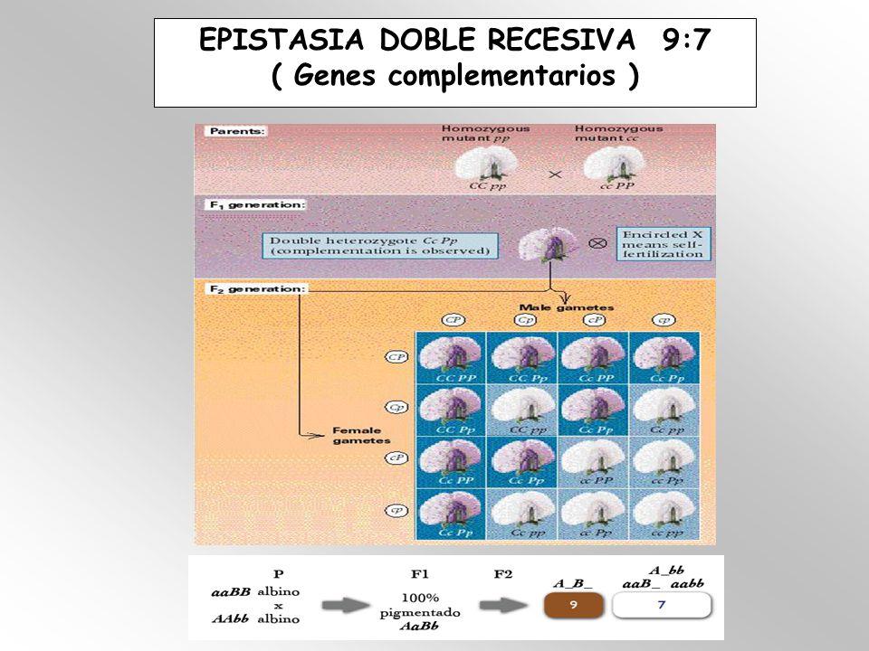 EPISTASIA DOBLE RECESIVA 9:7 ( Genes complementarios )
