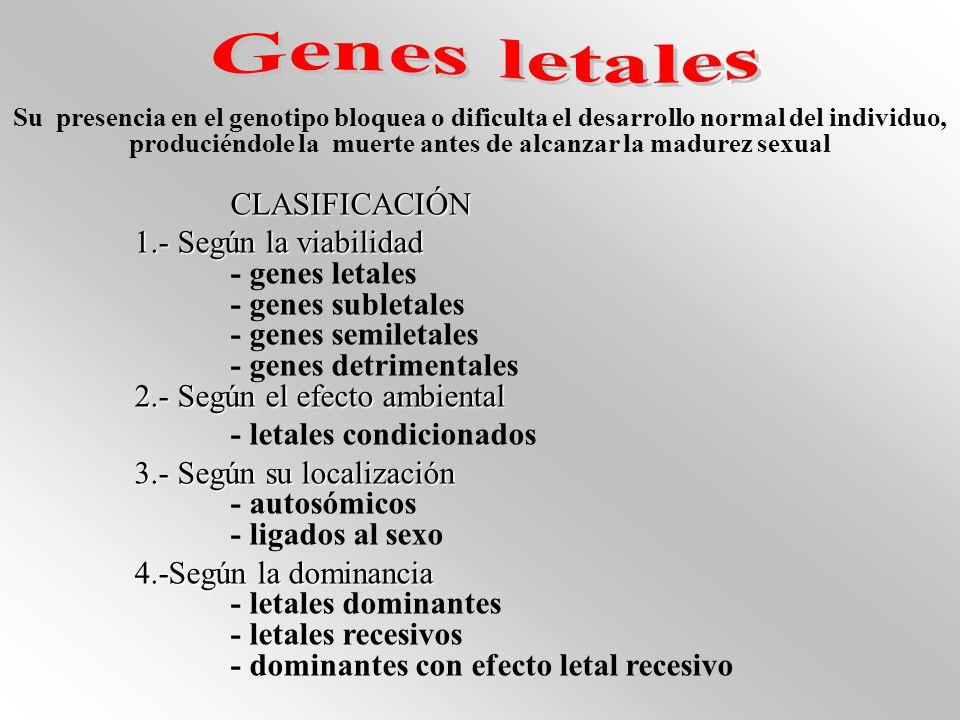 Su presencia en el genotipo bloquea o dificulta el desarrollo normal del individuo, produciéndole la muerte antes de alcanzar la madurez sexual CLASIFICACIÓN 1.- Según la viabilidad - genes letales - genes subletales - genes semiletales - genes detrimentales 2.- Según el efecto ambiental - letales condicionados 3.- Según su localización - autosómicos - ligados al sexo 4.-Según la dominancia - letales dominantes - letales recesivos - dominantes con efecto letal recesivo