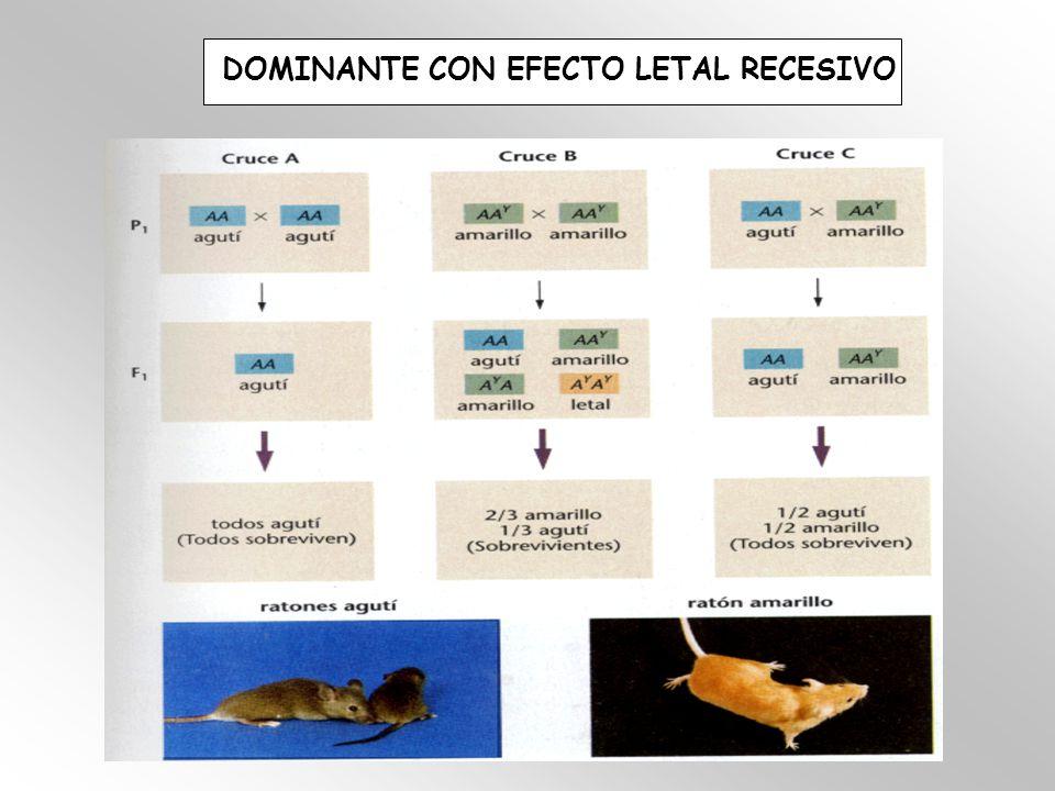 DOMINANTE CON EFECTO LETAL RECESIVO