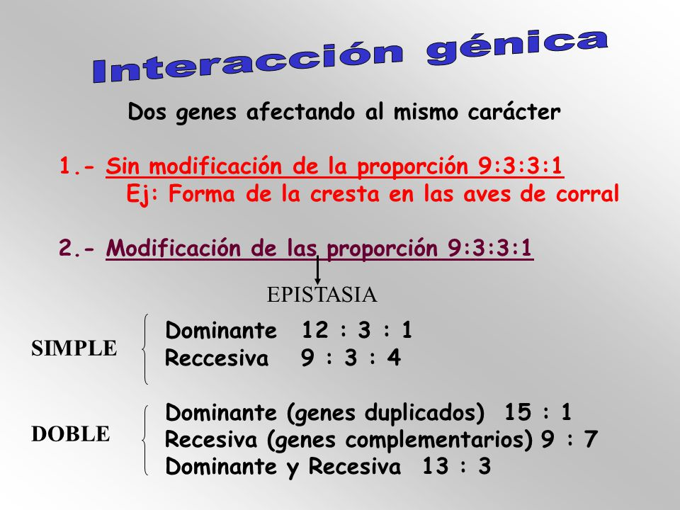 Dos genes afectando al mismo carácter 1.- Sin modificación de la proporción 9:3:3:1 Ej: Forma de la cresta en las aves de corral 2.- Modificación de las proporción 9:3:3:1 EPISTASIA Dominante12 : 3 : 1 Reccesiva9 : 3 : 4 Dominante (genes duplicados) 15 : 1 Recesiva (genes complementarios) 9 : 7 Dominante y Recesiva 13 : 3 SIMPLE DOBLE