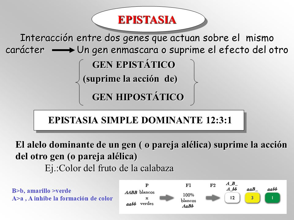 Interacción entre dos genes que actuan sobre el mismo carácter Un gen enmascara o suprime el efecto del otro GEN EPISTÁTICO GEN EPISTÁTICO GEN HIPOSTÁTICO (suprime la acción de) EPISTASIA SIMPLE DOMINANTE 12:3:1 EPISTASIA El alelo dominante de un gen ( o pareja alélica) suprime la acción del otro gen (o pareja alélica) Ej.:Color del fruto de la calabaza B>b, amarillo >verde A>a, A inhibe la formación de color