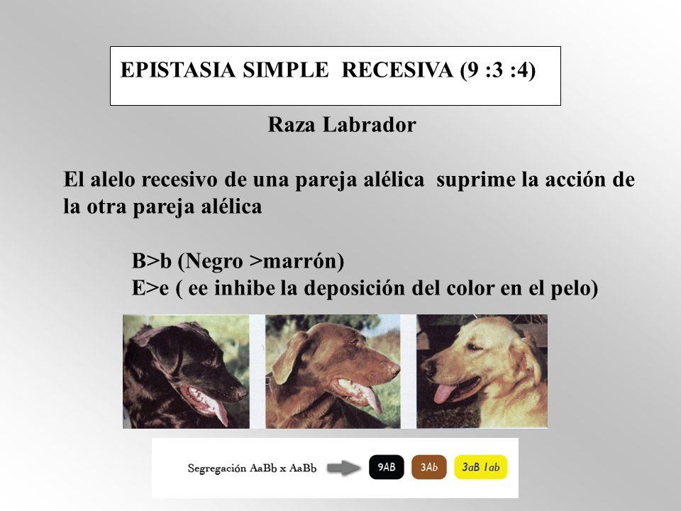EPISTASIA SIMPLE RECESIVA (9 :3 :4) Raza Labrador El alelo recesivo de una pareja alélica suprime la acción de la otra pareja alélica B>b (Negro >marr