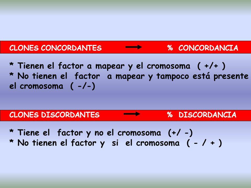CLONES CONCORDANTES % CONCORDANCIA * Tienen el factor a mapear y el cromosoma ( +/+ ) * No tienen el factor a mapear y tampoco está presente el cromosoma ( -/-) CLONES DISCORDANTES % DISCORDANCIA * Tiene el factor y no el cromosoma (+/ -) * No tienen el factor y si el cromosoma ( - / + )