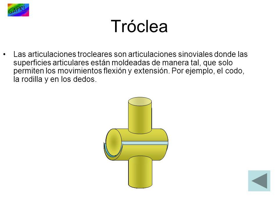 Tróclea Las articulaciones trocleares son articulaciones sinoviales donde las superficies articulares están moldeadas de manera tal, que solo permiten