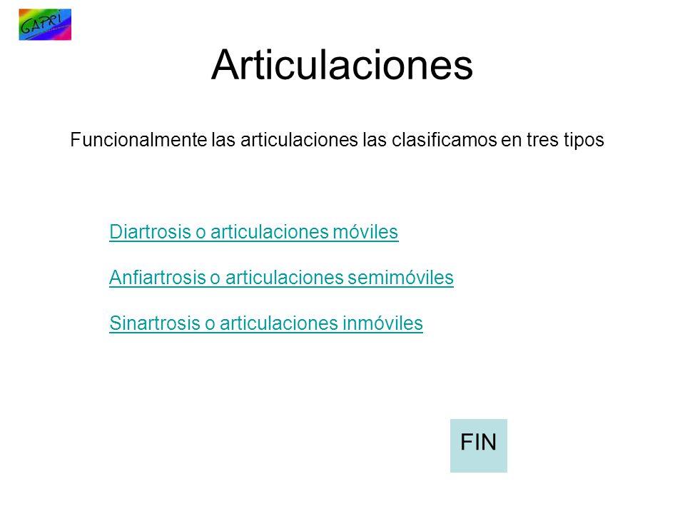 Articulaciones Funcionalmente las articulaciones las clasificamos en tres tipos Diartrosis o articulaciones móviles Anfiartrosis o articulaciones semi