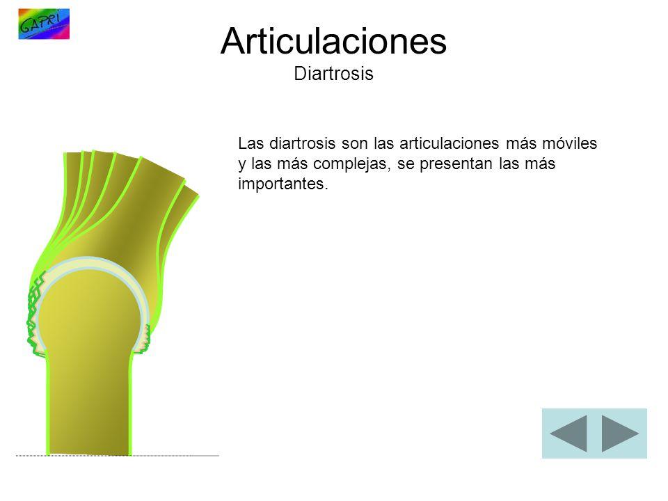 Articulaciones Diartrosis Las diartrosis son las articulaciones más móviles y las más complejas, se presentan las más importantes.