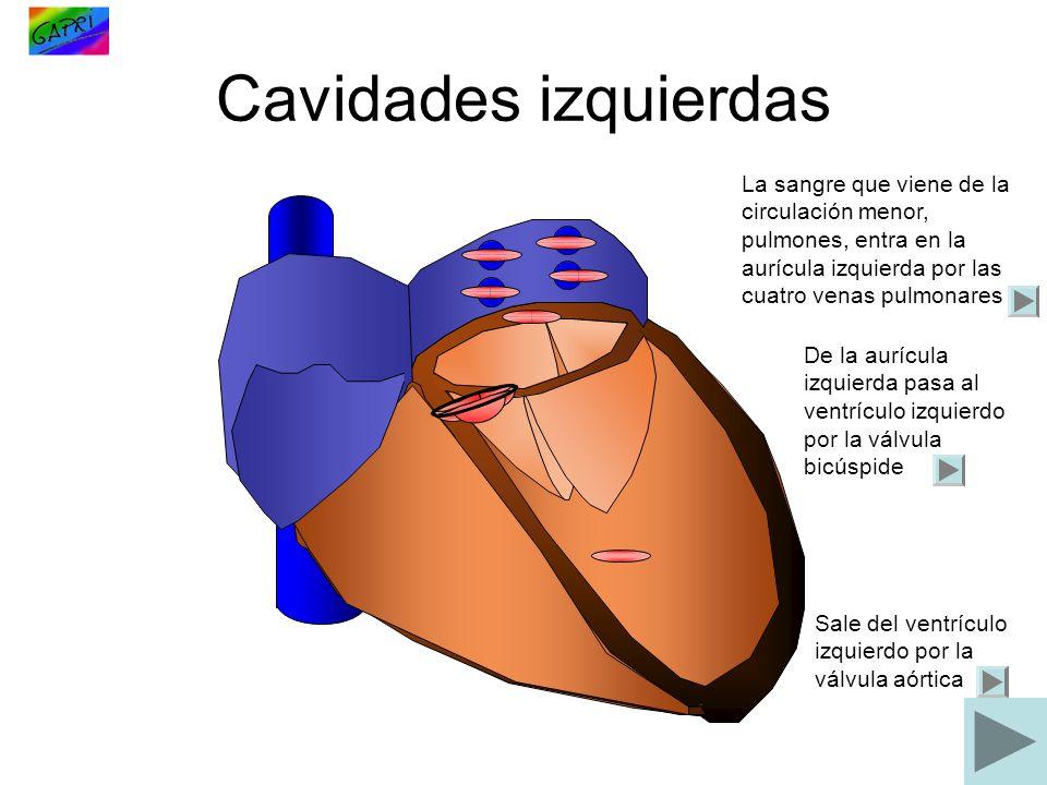 Cavidades izquierdas La sangre que viene de la circulación menor, pulmones, entra en la aurícula izquierda por las cuatro venas pulmonares De la auríc