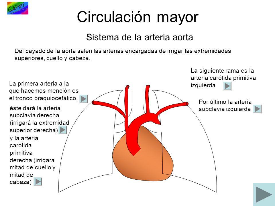 Circulación mayor Sistema de la arteria aorta Del cayado de la aorta salen las arterias encargadas de irrigar las extremidades superiores, cuello y ca