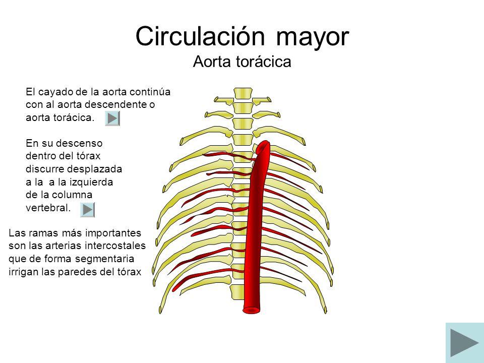 Circulación mayor Aorta torácica El cayado de la aorta continúa con al aorta descendente o aorta torácica. En su descenso dentro del tórax discurre de