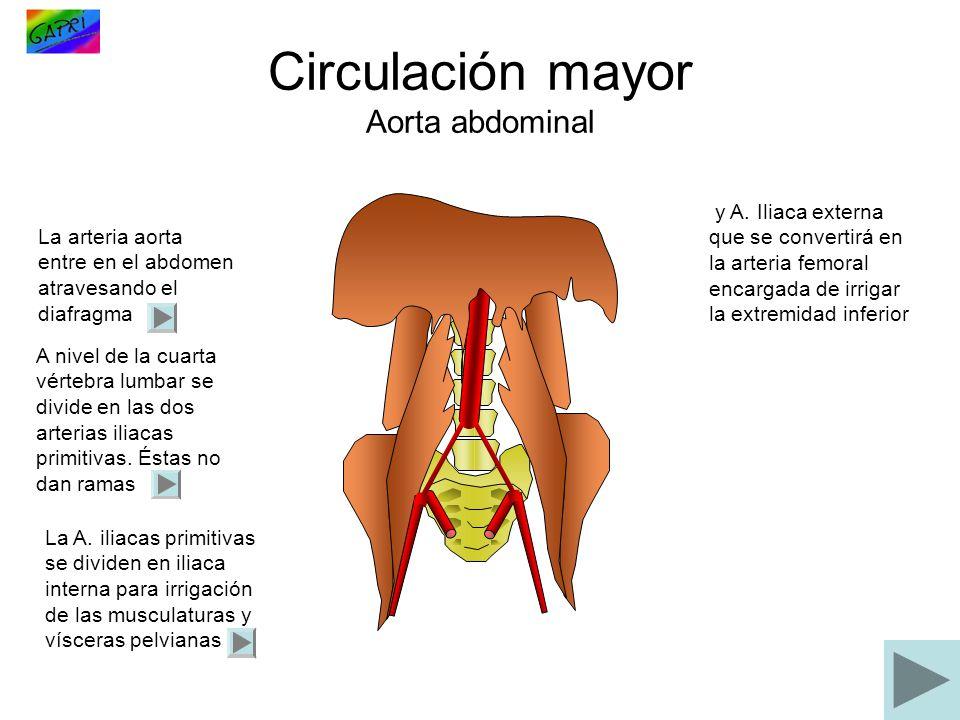 Circulación mayor Aorta abdominal La arteria aorta entre en el abdomen atravesando el diafragma A nivel de la cuarta vértebra lumbar se divide en las