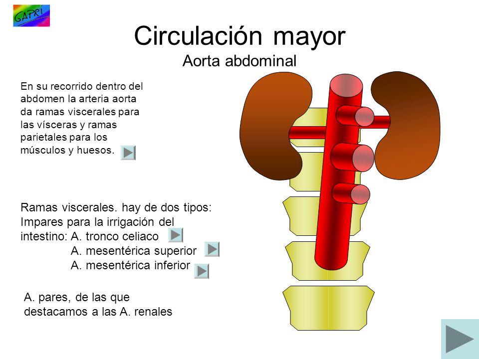 Circulación mayor Aorta abdominal En su recorrido dentro del abdomen la arteria aorta da ramas viscerales para las vísceras y ramas parietales para lo