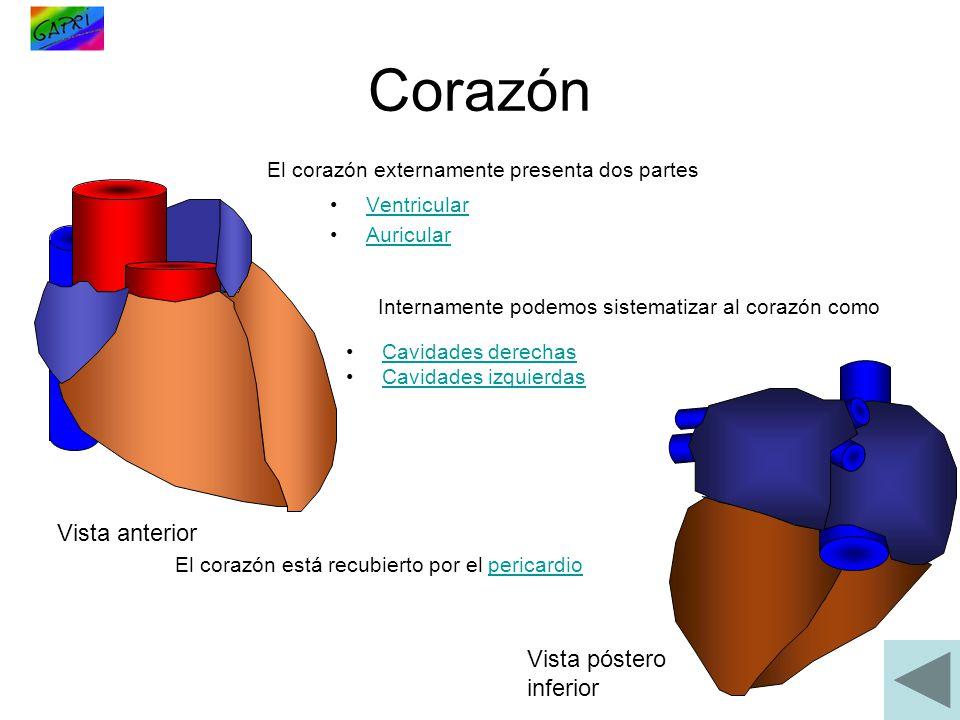 Corazón Ventricular Auricular Vista anterior Vista póstero inferior El corazón externamente presenta dos partes Internamente podemos sistematizar al c