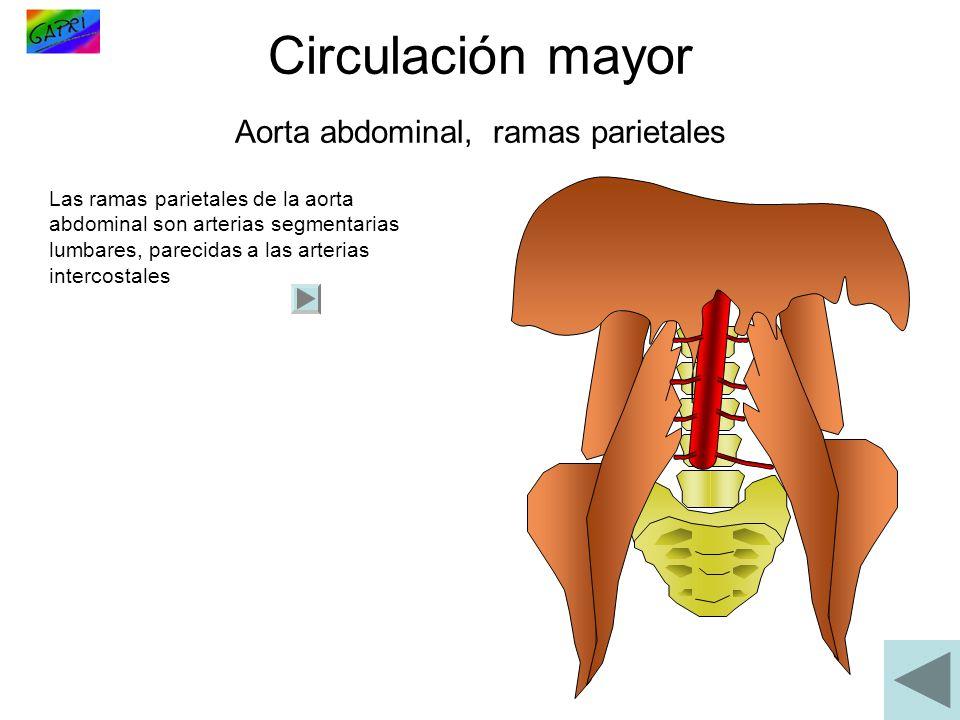 Circulación mayor Aorta abdominal, ramas parietales Las ramas parietales de la aorta abdominal son arterias segmentarias lumbares, parecidas a las art