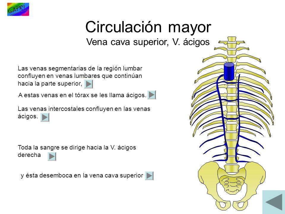Circulación mayor Vena cava superior, V. ácigos Las venas segmentarias de la región lumbar confluyen en venas lumbares que continúan hacia la parte su