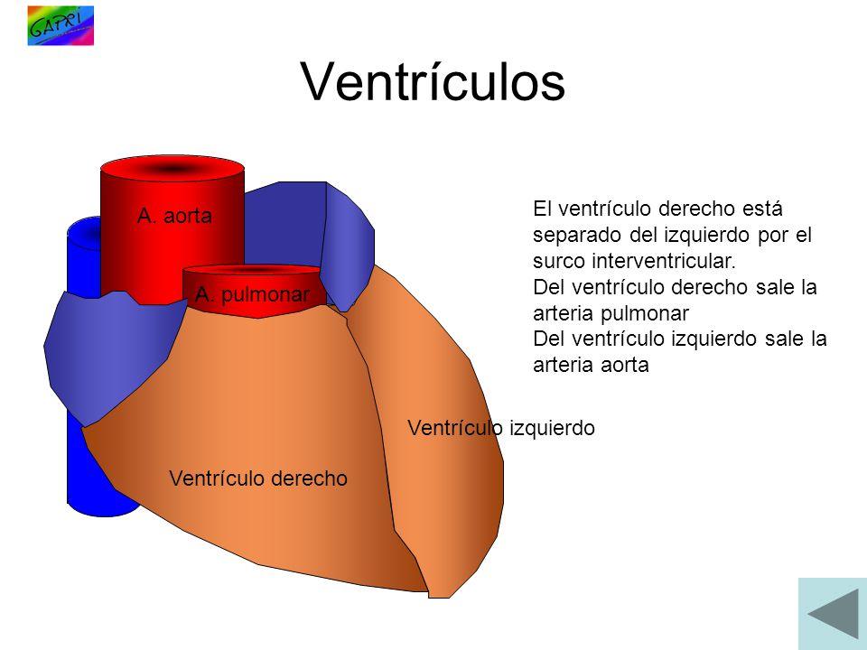 Ventrículos Ventrículo derecho Ventrículo izquierdo El ventrículo derecho está separado del izquierdo por el surco interventricular. Del ventrículo de