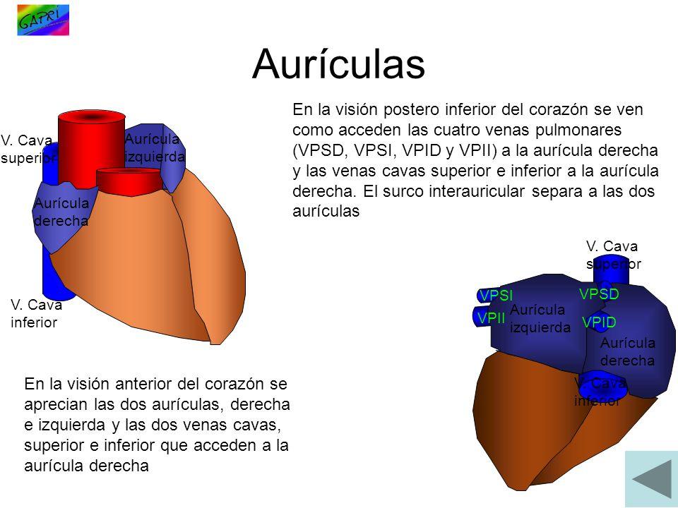 Aurículas V. Cava superior V. Cava inferior Aurícula derecha Aurícula izquierda En la visión anterior del corazón se aprecian las dos aurículas, derec