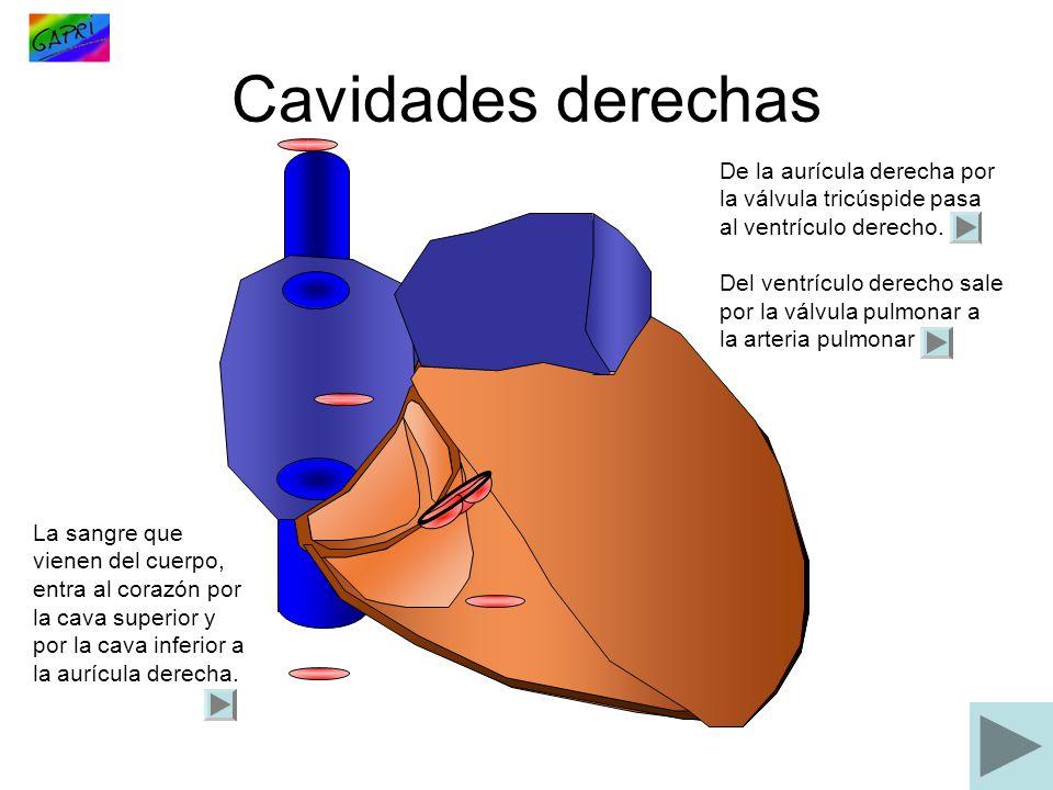 Cavidades derechas La sangre que vienen del cuerpo, entra al corazón por la cava superior y por la cava inferior a la aurícula derecha. De la aurícula