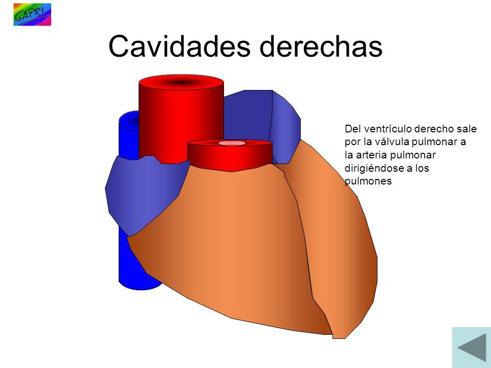 Cavidades derechas Del ventrículo derecho sale por la válvula pulmonar a la arteria pulmonar dirigiéndose a los pulmones