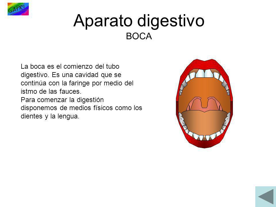 La boca es el comienzo del tubo digestivo. Es una cavidad que se continúa con la faringe por medio del istmo de las fauces. Para comenzar la digestión