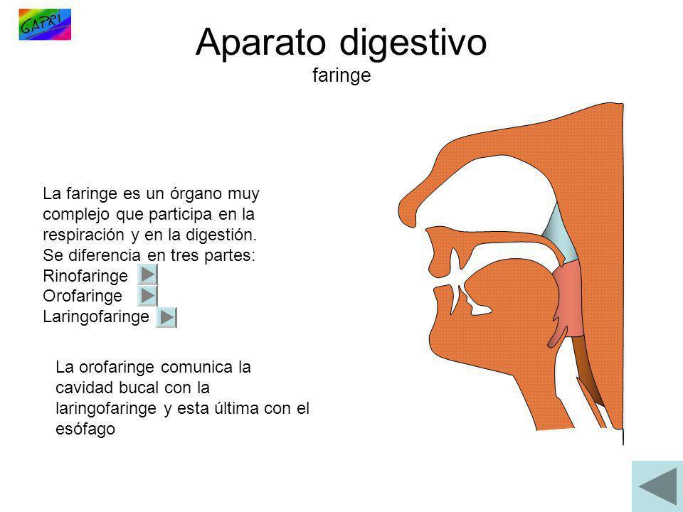 La faringe es un órgano muy complejo que participa en la respiración y en la digestión. Se diferencia en tres partes: Rinofaringe Orofaringe Laringofa