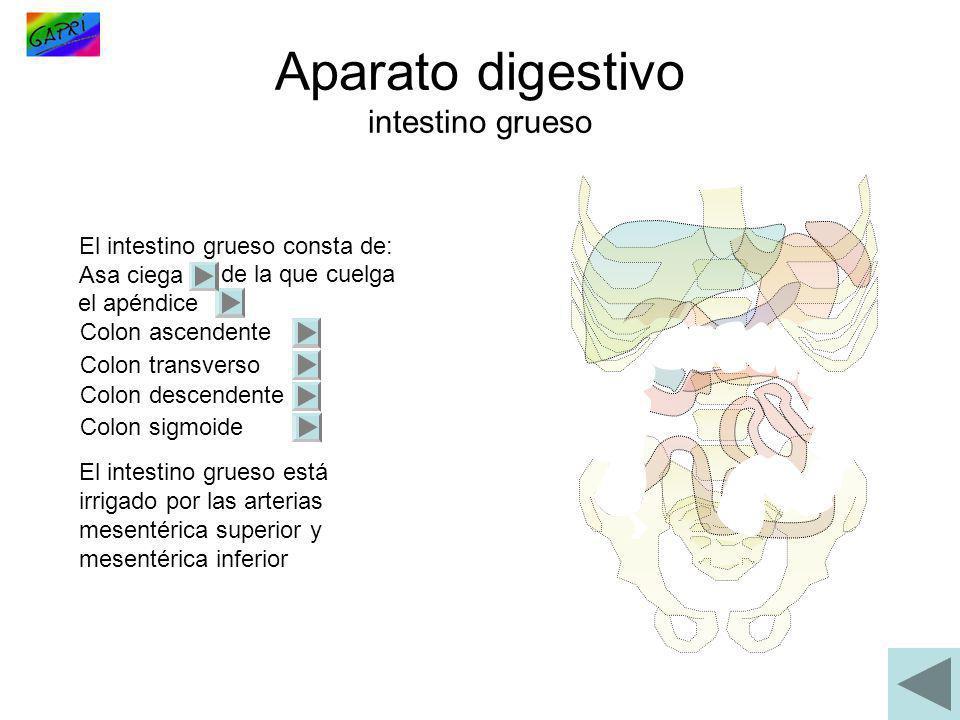 Aparato digestivo intestino grueso El intestino grueso consta de: Asa ciega de la que cuelga el apéndice Colon ascendente Colon transverso Colon desce