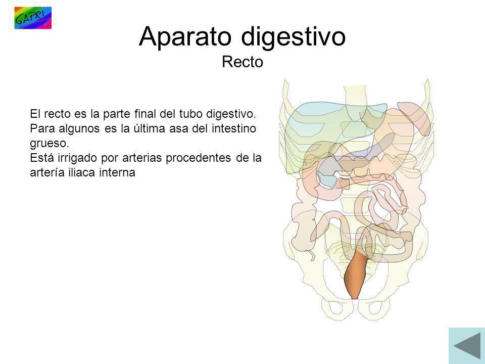 Aparato digestivo Recto El recto es la parte final del tubo digestivo. Para algunos es la última asa del intestino grueso. Está irrigado por arterias