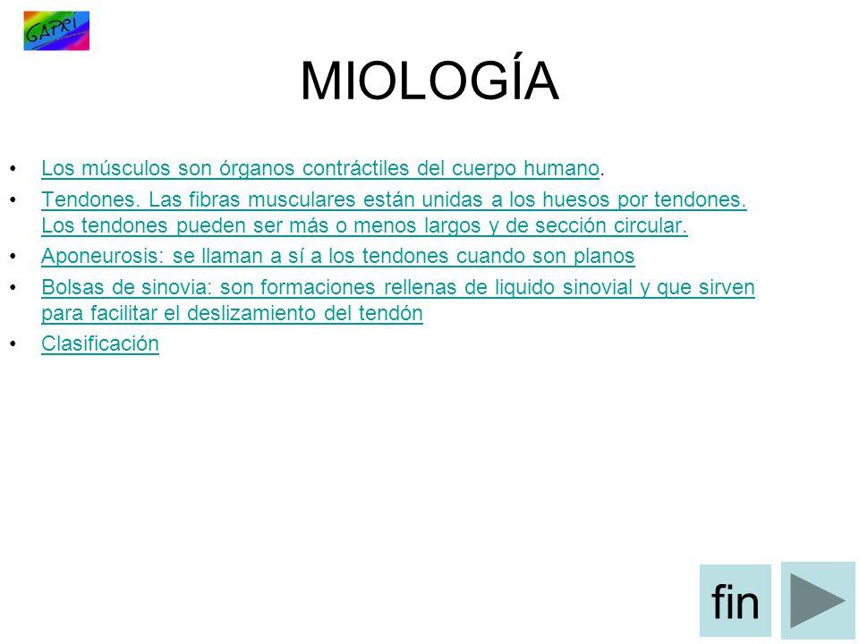 MIOLOGÍA Los músculos son órganos contráctiles del cuerpo humano.Los músculos son órganos contráctiles del cuerpo humano Tendones.