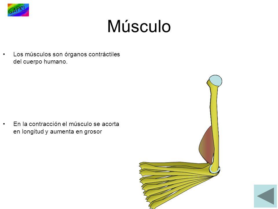 Músculo Los músculos son órganos contráctiles del cuerpo humano.