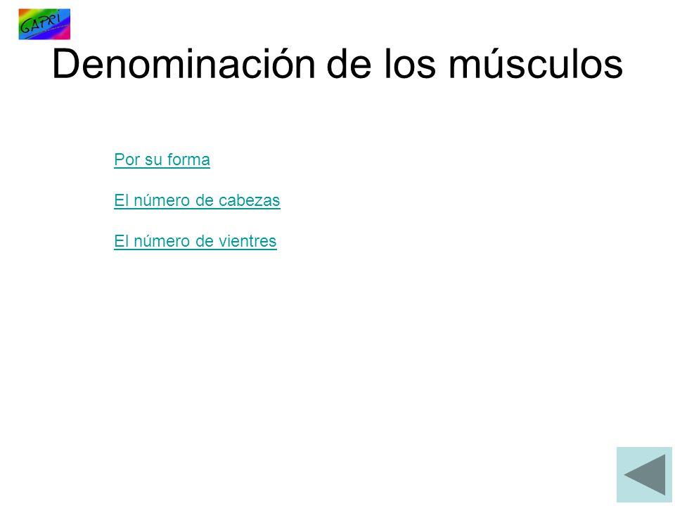 Denominación de los músculos Por su forma El número de cabezas El número de vientres