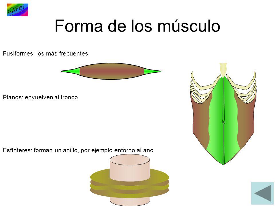 Forma de los músculo Fusiformes: los más frecuentes Planos: envuelven al tronco Esfínteres: forman un anillo, por ejemplo entorno al ano