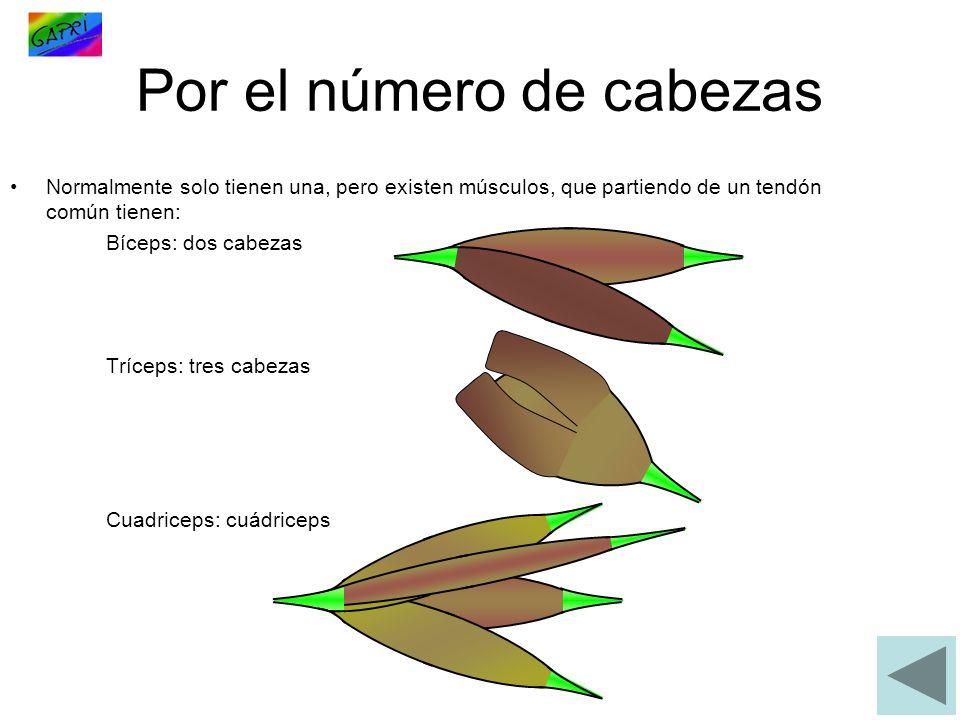 Por el número de cabezas Normalmente solo tienen una, pero existen músculos, que partiendo de un tendón común tienen: Bíceps: dos cabezas Tríceps: tres cabezas Cuadriceps: cuádriceps