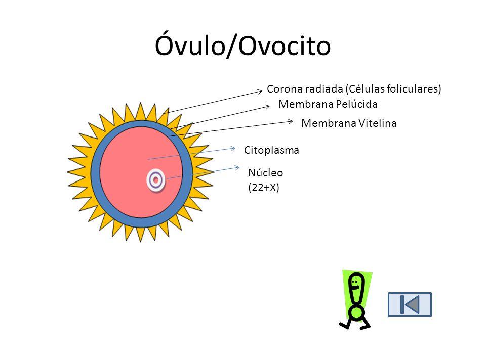 3.Fecundación Fusión de gametos masculino y femenino para originar un cigoto.