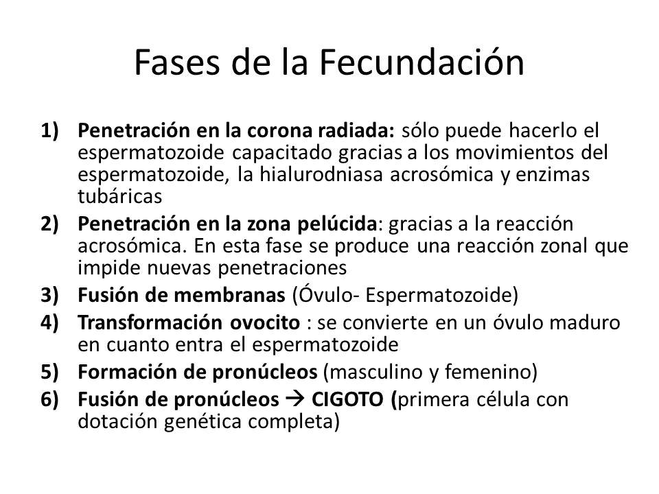 Mesodermo Embrionario Ectodermo Endodermo DISCO GERMINATIVO TRILAMINAR