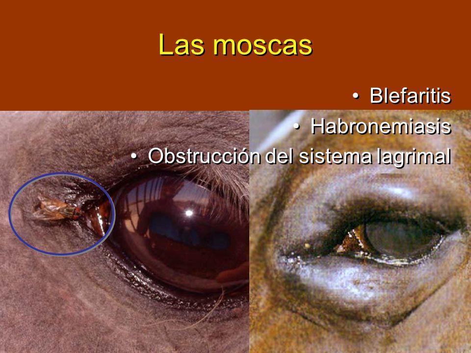 Las moscas Blefaritis Habronemiasis Obstrucción del sistema lagrimal Blefaritis Habronemiasis Obstrucción del sistema lagrimal