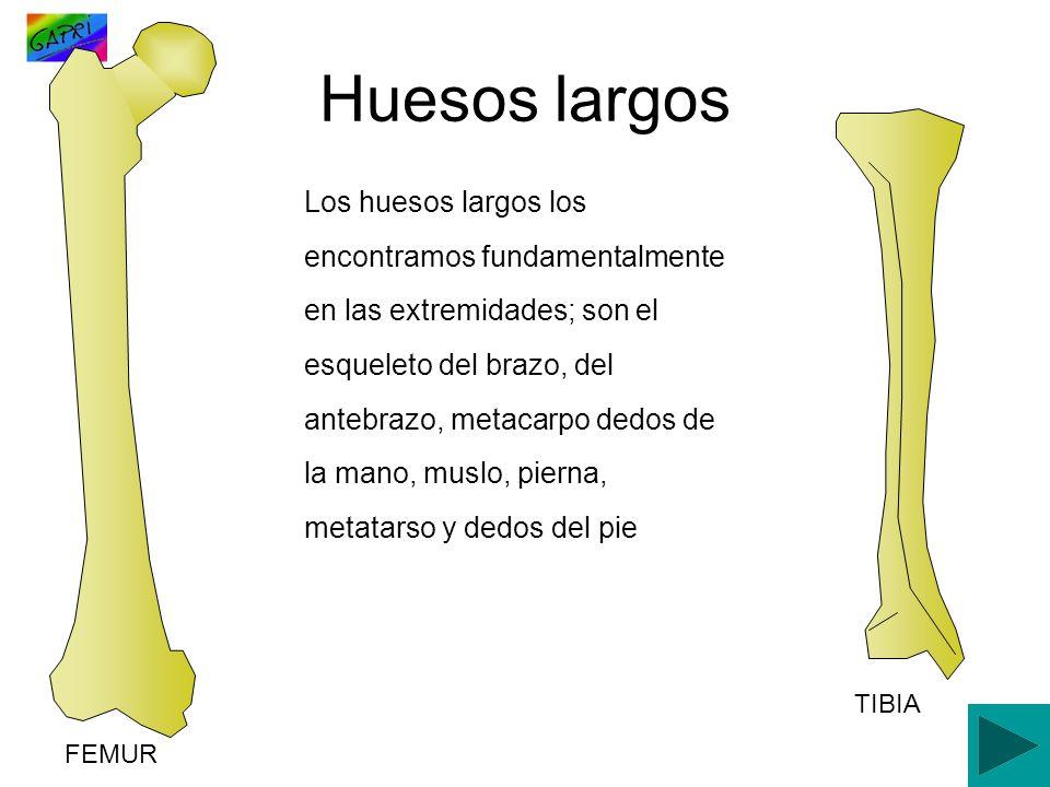 Los huesos largos los encontramos fundamentalmente en las extremidades; son el esqueleto del brazo, del antebrazo, metacarpo dedos de la mano, muslo,