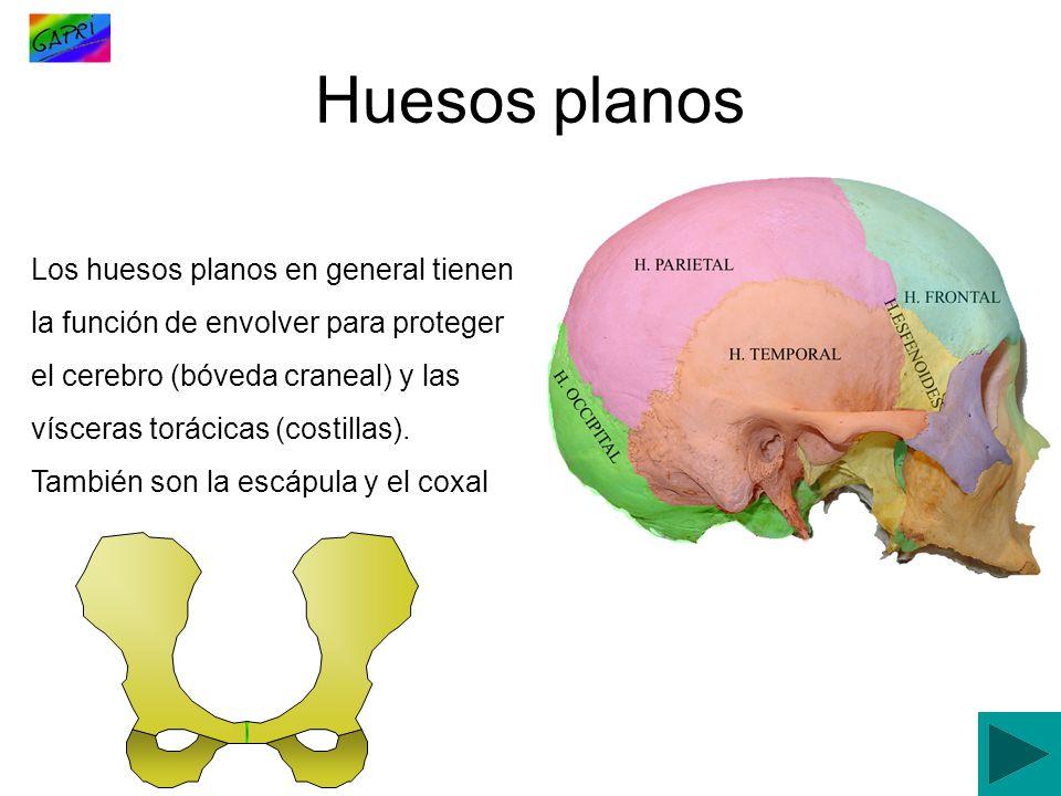 Los huesos planos en general tienen la función de envolver para proteger el cerebro (bóveda craneal) y las vísceras torácicas (costillas). También son