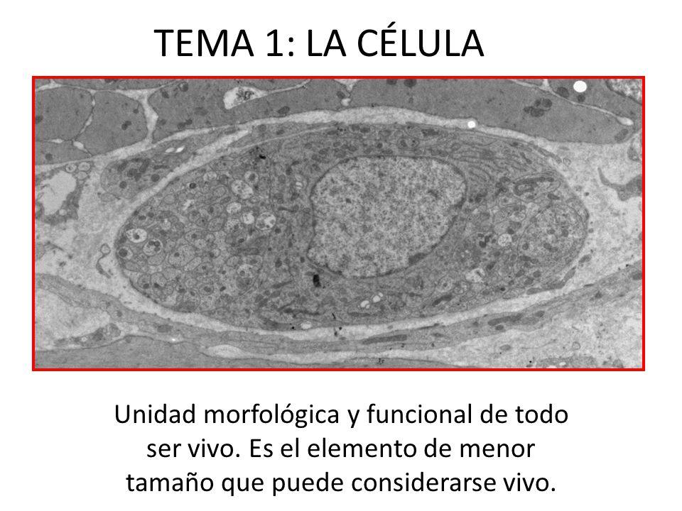 10-EL NÚCLEO CELULAR En el núcleo se distinguen 3 estructuras: envoltura nuclear, cromatina y nucleolo.
