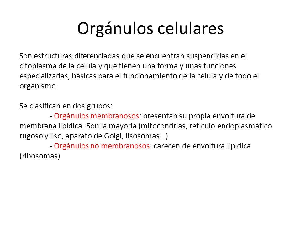 Orgánulos celulares Son estructuras diferenciadas que se encuentran suspendidas en el citoplasma de la célula y que tienen una forma y unas funciones especializadas, básicas para el funcionamiento de la célula y de todo el organismo.