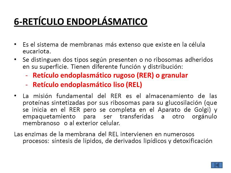 6-RETÍCULO ENDOPLÁSMATICO Es el sistema de membranas más extenso que existe en la célula eucariota.