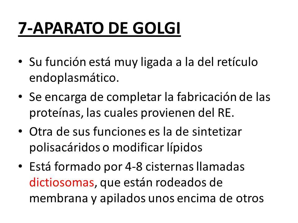 Su función está muy ligada a la del retículo endoplasmático.