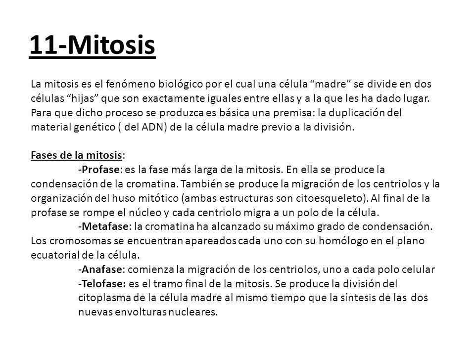 11-Mitosis La mitosis es el fenómeno biológico por el cual una célula madre se divide en dos células hijas que son exactamente iguales entre ellas y a la que les ha dado lugar.