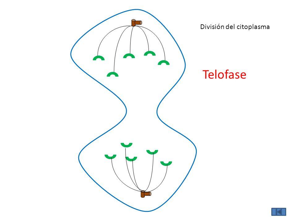 División del citoplasma Telofase
