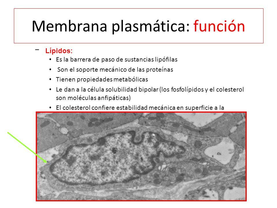 Membrana plasmática: función – Lípidos: Es la barrera de paso de sustancias lipófilas Son el soporte mecánico de las proteínas Tienen propiedades metabólicas Le dan a la célula solubilidad bipolar (los fosfolípidos y el colesterol son moléculas anfipáticas) El colesterol confiere estabilidad mecánica en superficie a la membrana y aumenta la fluidez de ésta Lípidos: