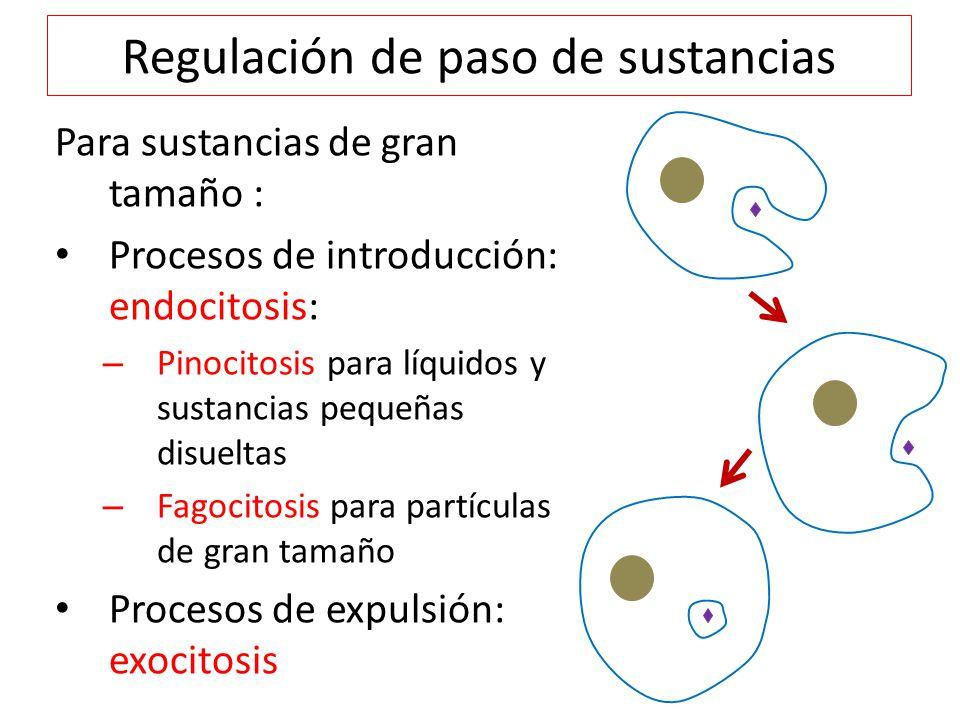 Regulación de paso de sustancias Para sustancias de gran tamaño : Procesos de introducción: endocitosis: – Pinocitosis para líquidos y sustancias pequeñas disueltas – Fagocitosis para partículas de gran tamaño Procesos de expulsión: exocitosis