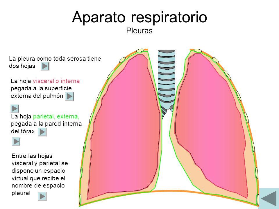 Aparato respiratorio Pleuras La pleura como toda serosa tiene dos hojas La hoja visceral o interna pegada a la superficie externa del pulmón La hoja p