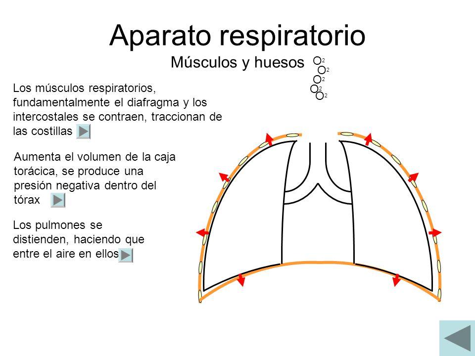 Aparato respiratorio Músculos y huesos O2O2 O2O2 O2O2 O2O2 O2O2 Los músculos respiratorios, fundamentalmente el diafragma y los intercostales se contr